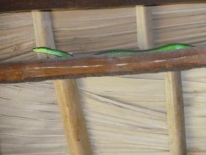 le festin terminé, serpent vert regagne son nid....