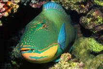 Le poisson perroquet.... 1tonne de sable par an...