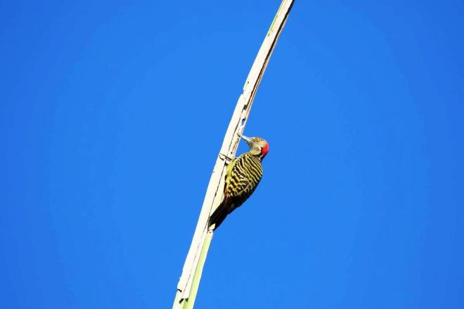 Pic, pic, pic.... on l'appelle Pie d'Hispaniola, son truc, faire des trous dans les cocotiers, les palmiers qui seront ensuite utilisés par d'autres oiseaux pour y nicher. Il adore les insectes, les graines, les petits fruits.