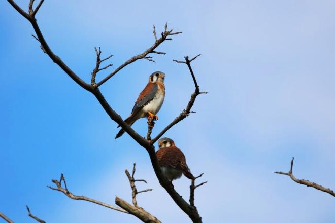 Adorables couple de petits faucons.